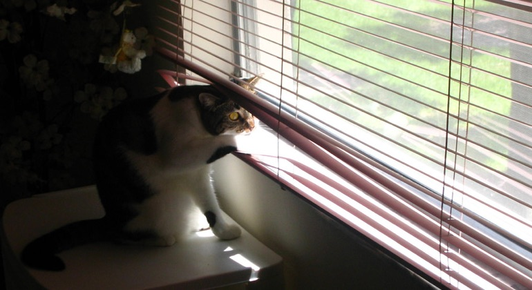 Cat looking through aluminum blinds in Cincinnati.