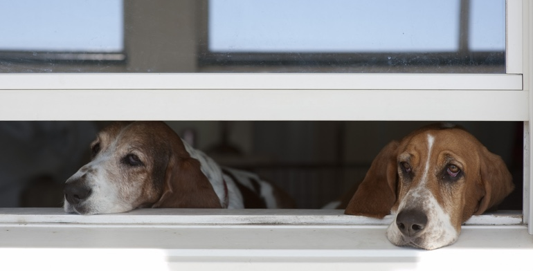 Beagles look out open window with no window treatment in Cincinnati.